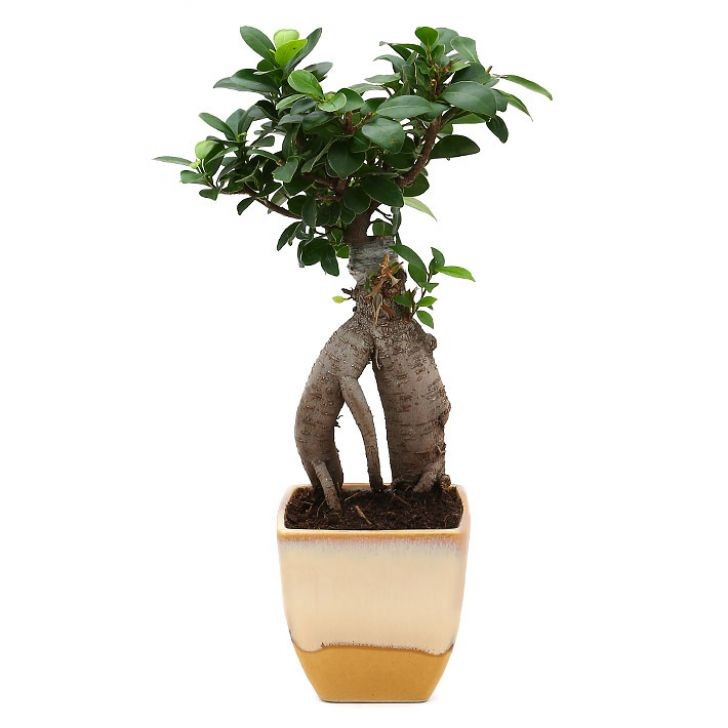 Exotic Green Nice Ficus -3 Year Old Bonsai In Cream Colour Pot.