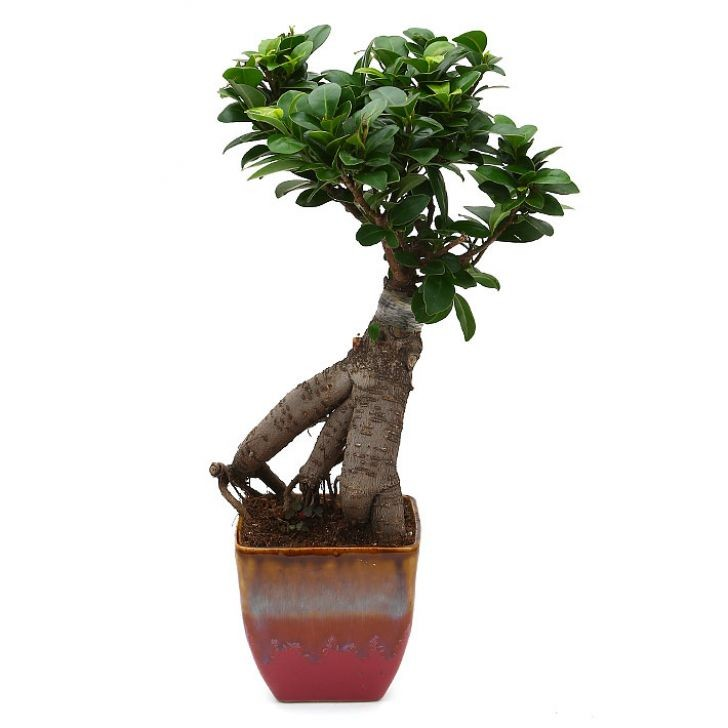Exotic Green Alluring Ficus- 3 Year Old Bonsai In English Purple Pot.