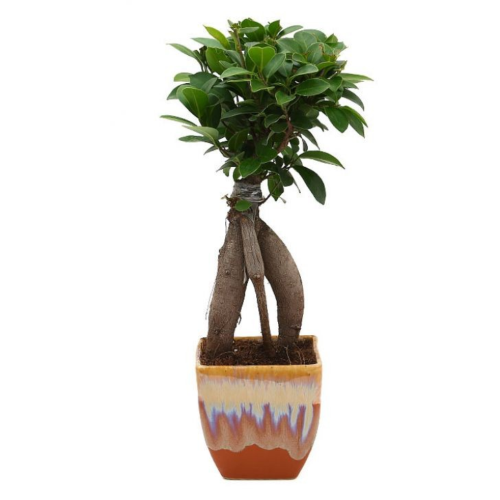 Exotic Green Fabulous Ficus -3 Year Old Bonsai In German Brown Pot.