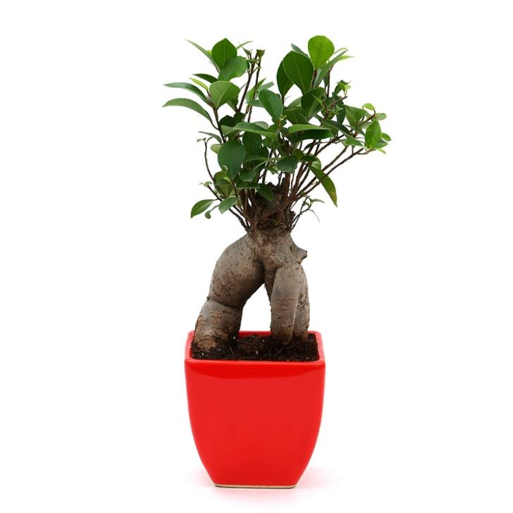 Exotic Green Ficus -3 Year Old Bonsai In Red Pot.