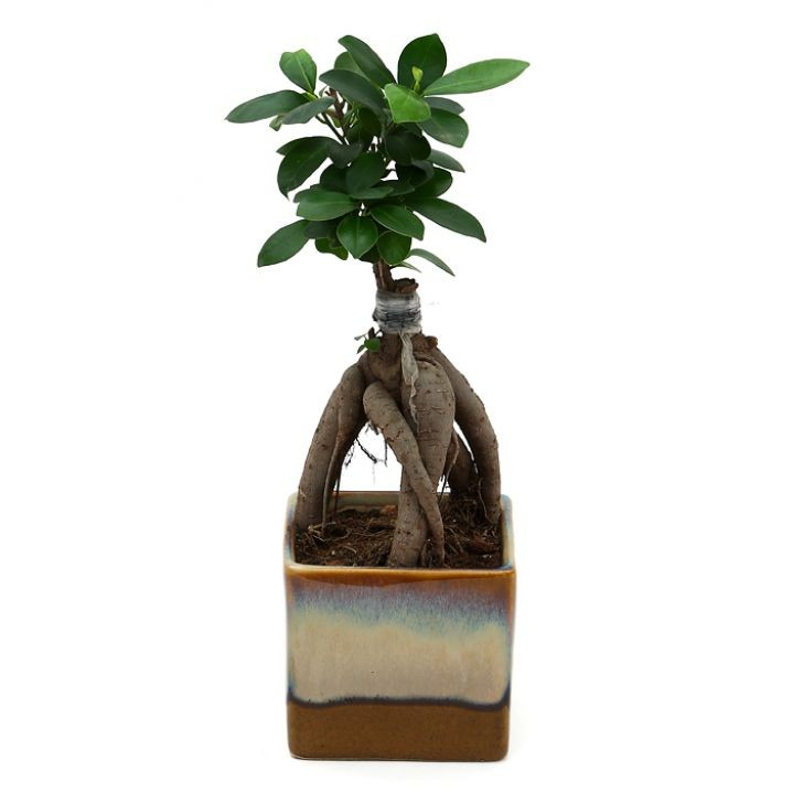 Exotic Green Ficus- 3 Year Old Bonsai In Chocolate Brown Pot.