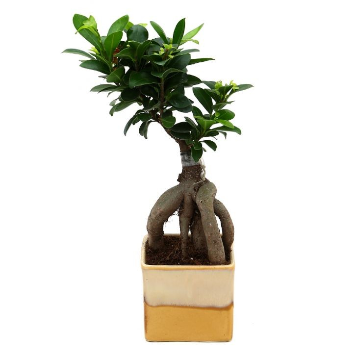 Exotic Green Ficus- 3 Year Old Bonsai In Cream Colour Pot.