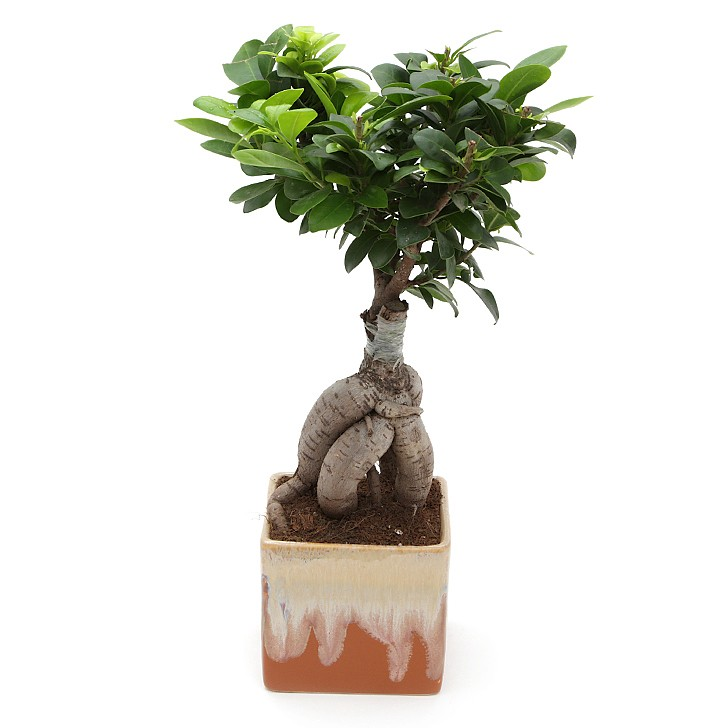 Exotic Green Ficus- 3 Year Old Bonsai In Brown Pot.