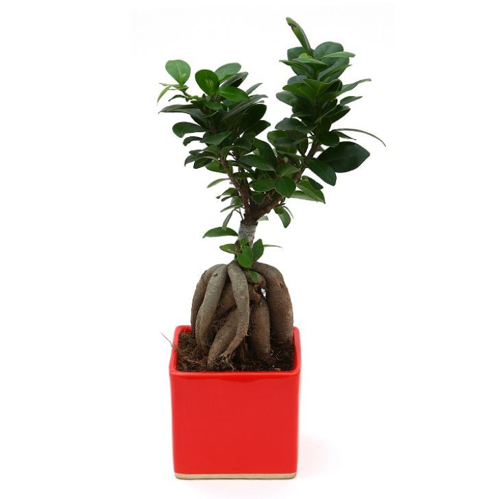 Exotic Green Ficus- 3 Year Old Bonsai In Red Pot.