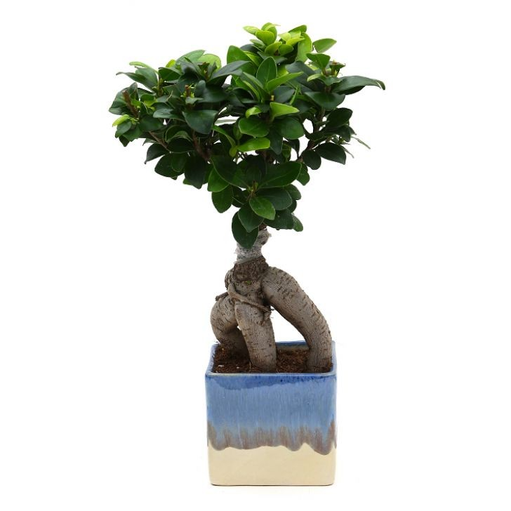Exotic Green Ficus- 3 Year Old Bonsai In Blue & White Pot.