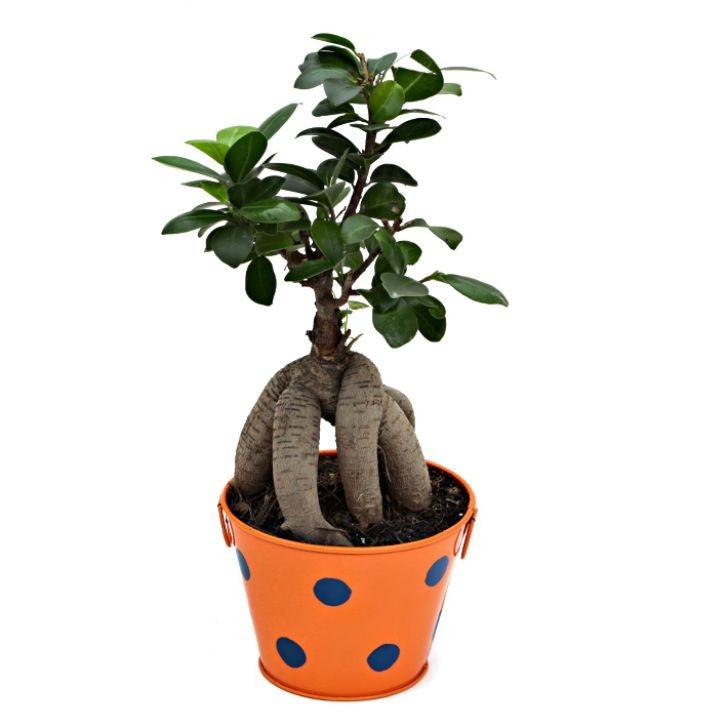 Exotic Green Ficus-3 Year Old Bonsai In Orange Metal Pot.