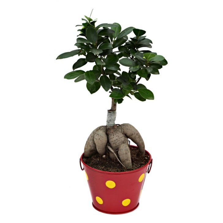 Exotic Green Ficus- 3 Year Old Bonsai In Red Metal Pot.
