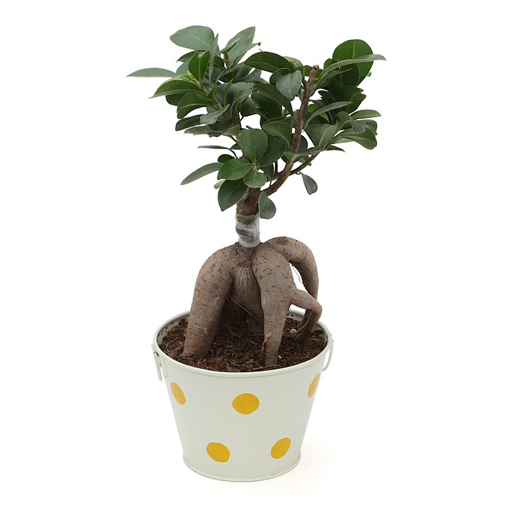 Exotic Green Ficus- 3 Year Old Bonsai In Off White Metal Pot.