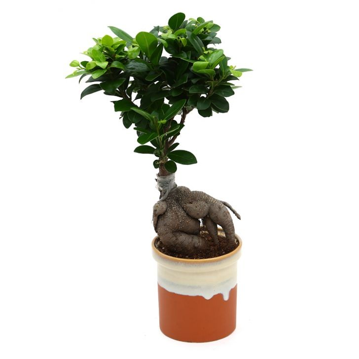 Exotic Green Amazing Ficus- 4 Year Old Bonsai In German Brown Pot.
