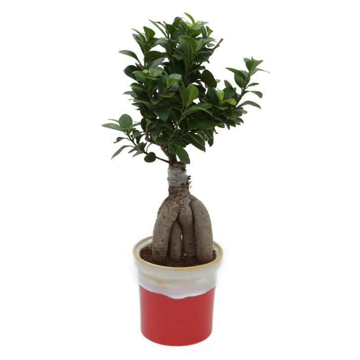 Exotic Green Premium Ficus -4 Year Old Bonsai In Orange & White Pot.