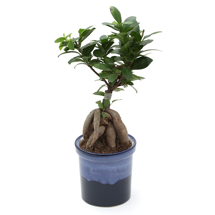 Exotic Green Grafted Ficus- 4 Year Old Bonsai In Ocean Blue Pot.