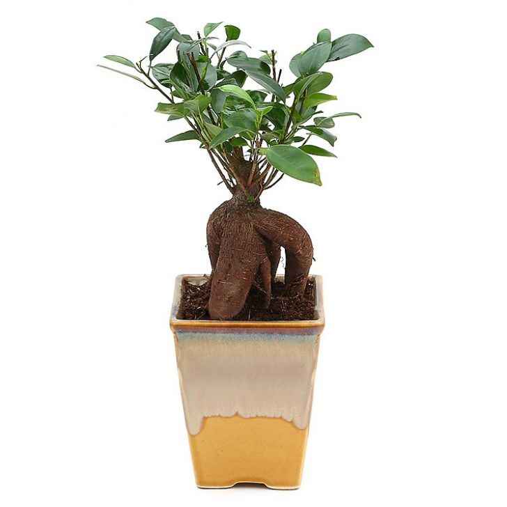 Exotic Green Ficus-4 Year Old Bonsai In Cream & Cookie Pot.