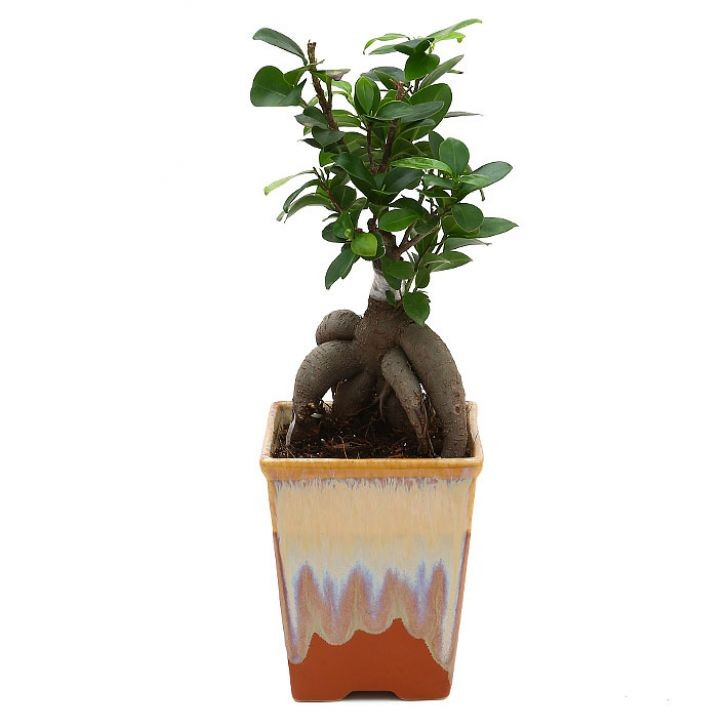 Exotic Green Ficus- 4 Year Old Bonsai In Brown Pot.