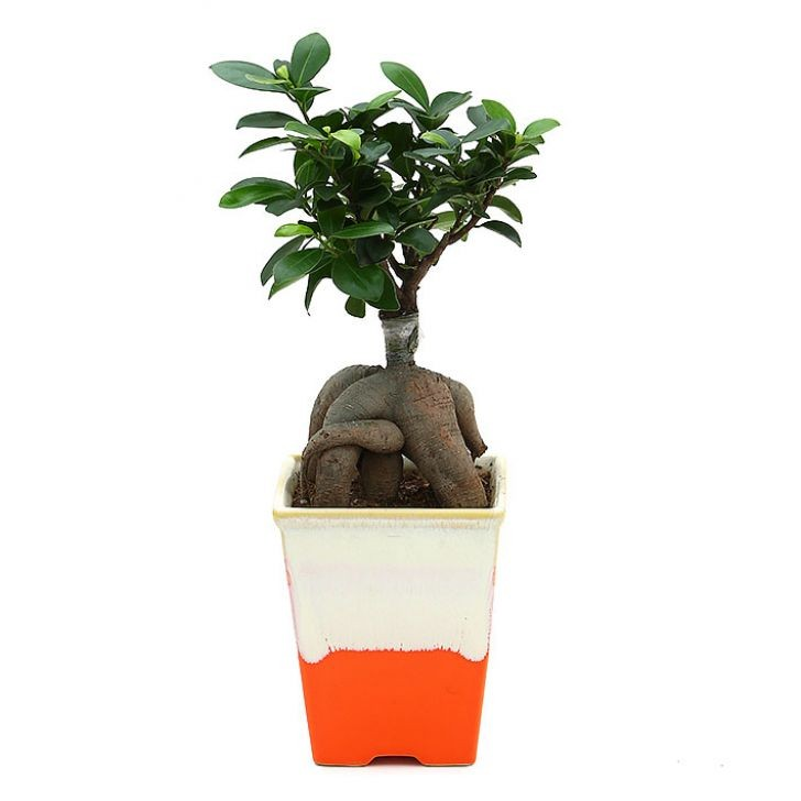 Exotic Green Ficus- 4 Year Old Bonsai In Orange Pot.