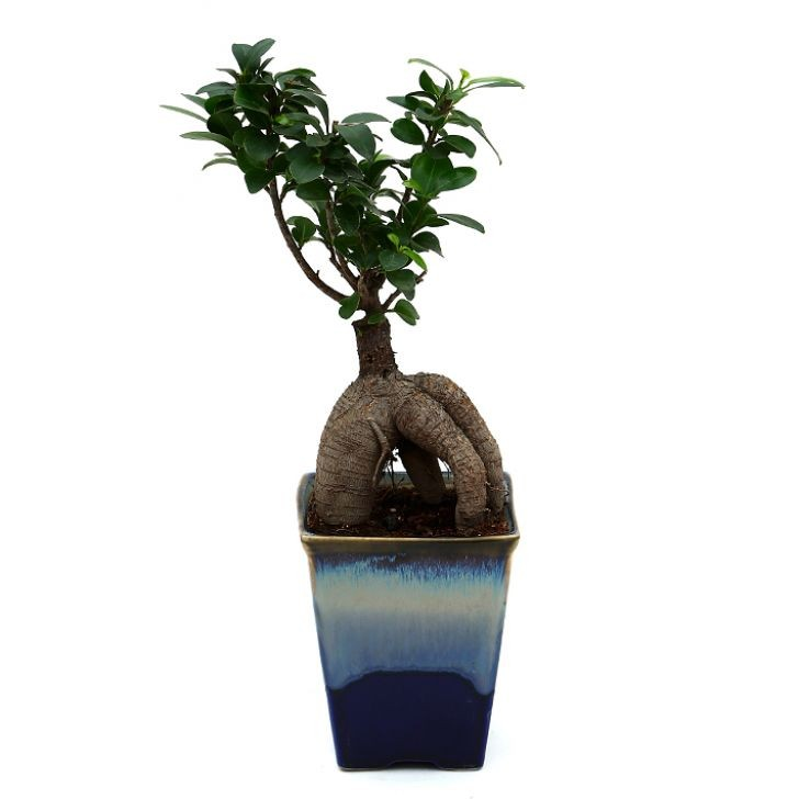 Exotic Green Ficus -4 Year old Bonsai In Ocean Blue Pot.