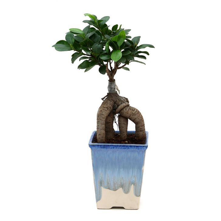 Exotic Green Ficus -4 Year Old Bonsai In White & Blue Pot.