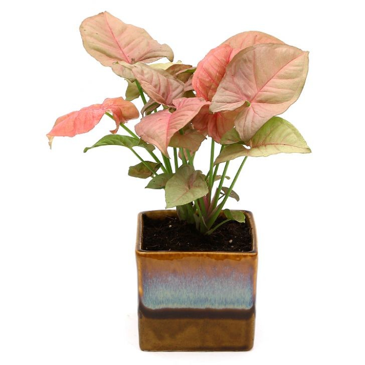 Exotic Green Pink Syngonium (Choco Brown Pot).