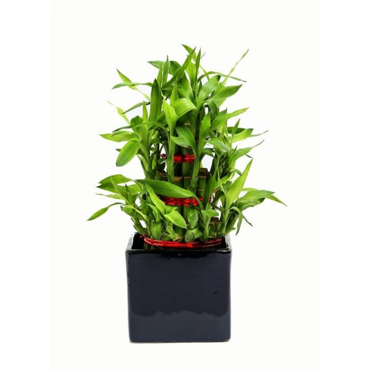 Exotic Green 3 Layer Bamboo In Black Pot.
