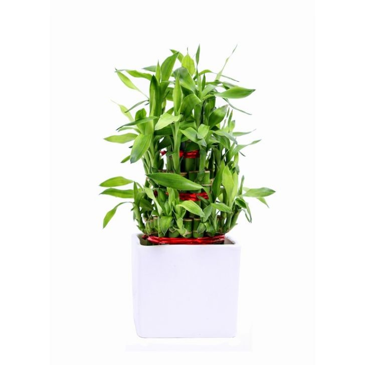 Exotic Green 3 Layer Bamboo In White Ceramic Pot