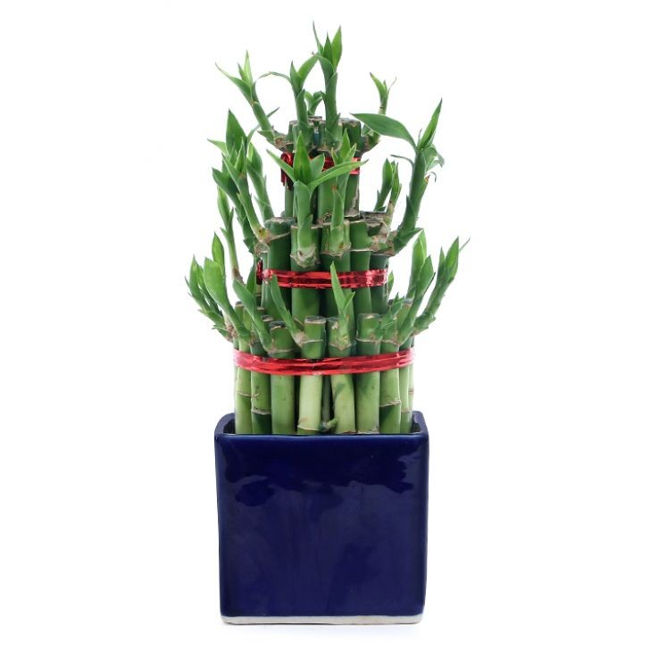 Exotic Green 3 Layer Bamboo In Blue Ceramic Pot.