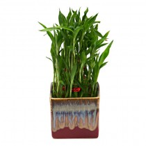 Exotic Green Bamboo (English Purple Pot)