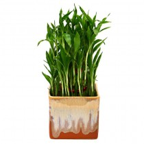 Exotic Green Bamboo (German Brown Pot)