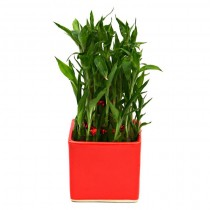 Exotic Green Bamboo (Red Pot)