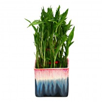Exotic Green Bamboo (Rainbow Black Pot)