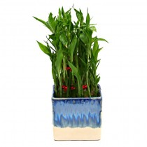 Exotic Green Bamboo (White & Blue Pot)