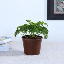 Exotic Green Herb-Parsley