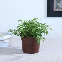 Exotic Green Herb-Oregano