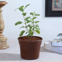 Exotic Green Herb-Tulsi