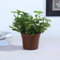 Exotic Green Herb- Lemon Balm