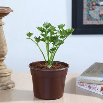 Exotic Green Herb-Celery