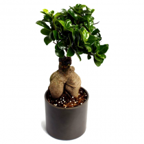 Exotic Green Ficus -2 Year Old Bonsai In Black Pot.