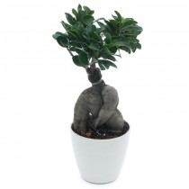 Exotic Green Ficus Microcarpa-3 Year Old Bonsai In White Pot.