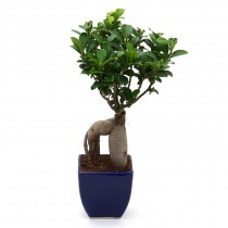 Exotic Green Alluring Ficus- 3 Year Old Bonsai In Blue Pot.