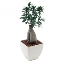 Exotic Green Ficus Microcarpa -5 Year Old Bonsai In White Pot.