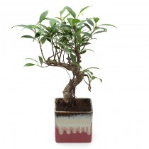 Exotic Green Alluring Ficus -3 Year Old Bonsai In Maroon Pot.
