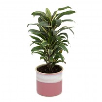 Exotic Green Cordyline (Barbie Pink Pot).