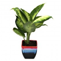 Exotic Green Dieffenbachia (Rainbow Black Pot).