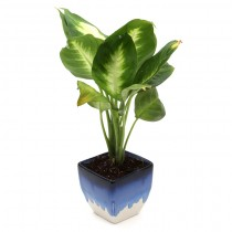 Exotic Green Dieffenbachia (White & Blue Pot).