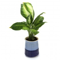 Exotic Green Dieffenbachia (Ocean Blue Pot).