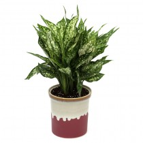 Exotic Green Aglaonema Green (English Purple Pot).