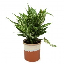 Exotic Green Aglaonema Green (German Brown Pot)