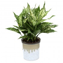 Exotic Green Aglaonema Green (Marble Brown Pot).