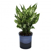 Exotic Green Aglaonema Green (Ocean Blue Pot).