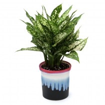 Exotic Green Aglaonema Green (Rainbow Black Pot)