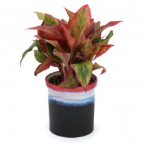 Exotic Green Aglaonema Red (Rainbow Black Pot).