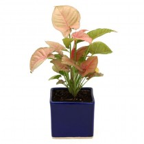 Exotic Green  Pink Syngonium (Blue Pot).